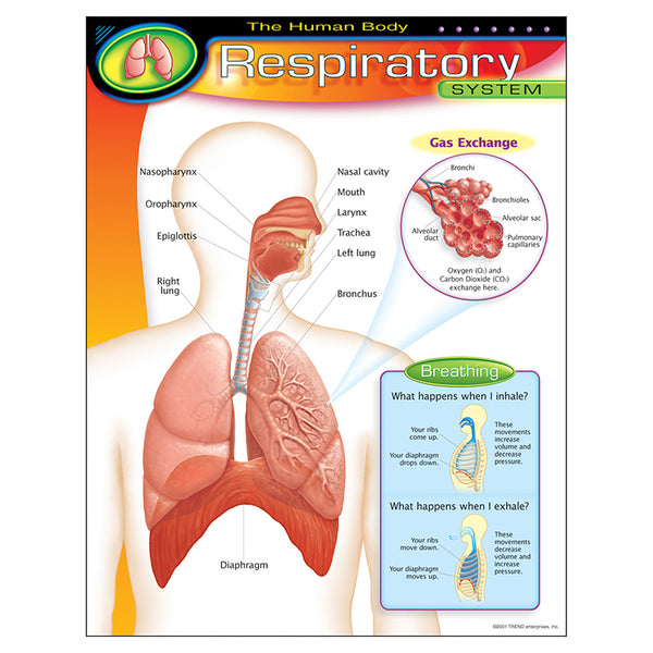 Bulletin Board Chart-Educational-The Human Body-Respiratory System