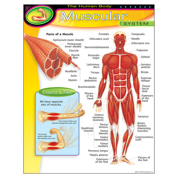 The Human Body-Educational Chart-Muscular System