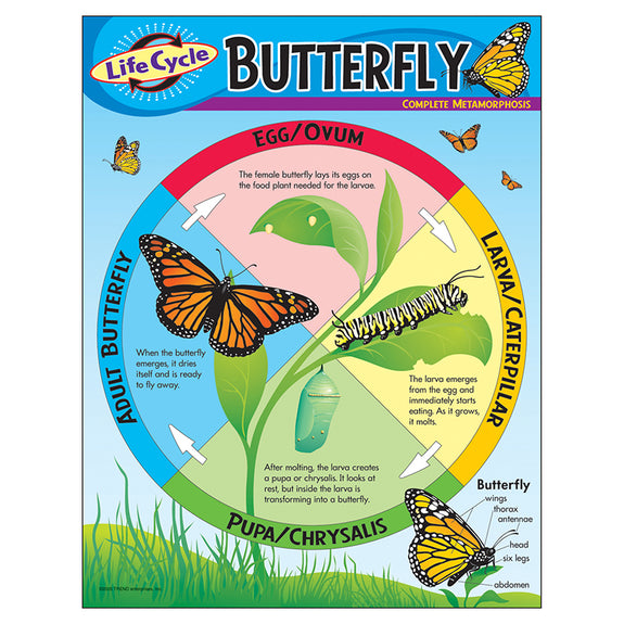 Educational-Life Science-Bulletin Board Chart-Life Cycle-Butterfly