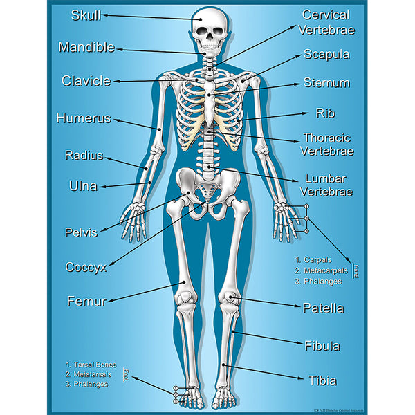 Bulletin Board Chart-Educational-The Human Body--Skeleton
