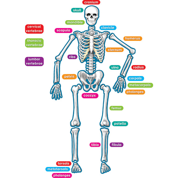 The Human Body-Educational-Anatomy-Skeleton-Magnetic Accents