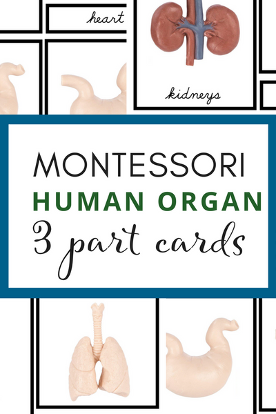 Montessori 3 Part Cards - Human Organs