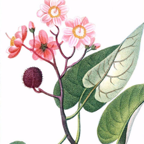 "Digital Download ""Achiote"" Illustration (c.1855) - Instant Download Printable - ThirdShiftVintage.com"