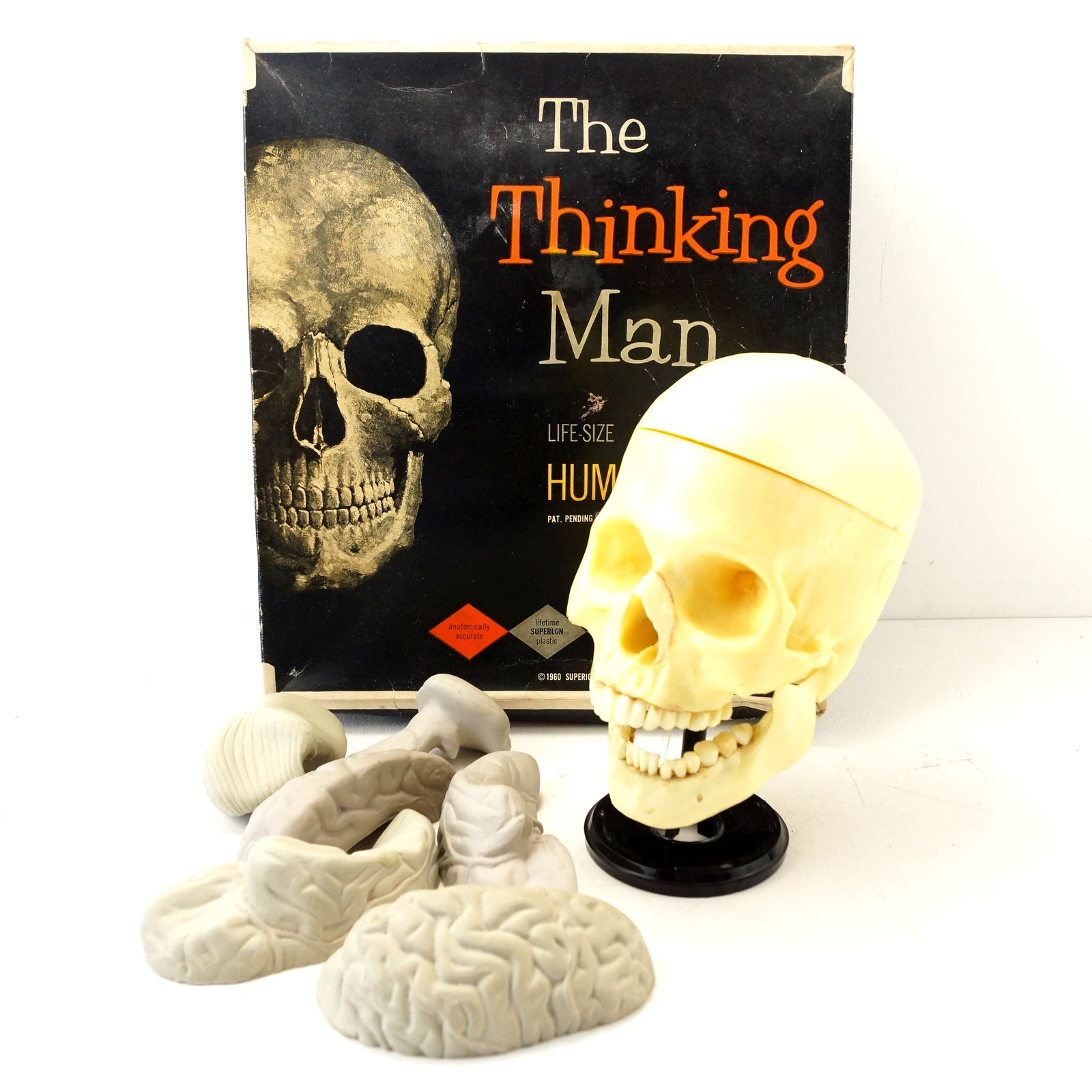 Vintage Human Skull Anatomy Model With Brain Life Size C1960