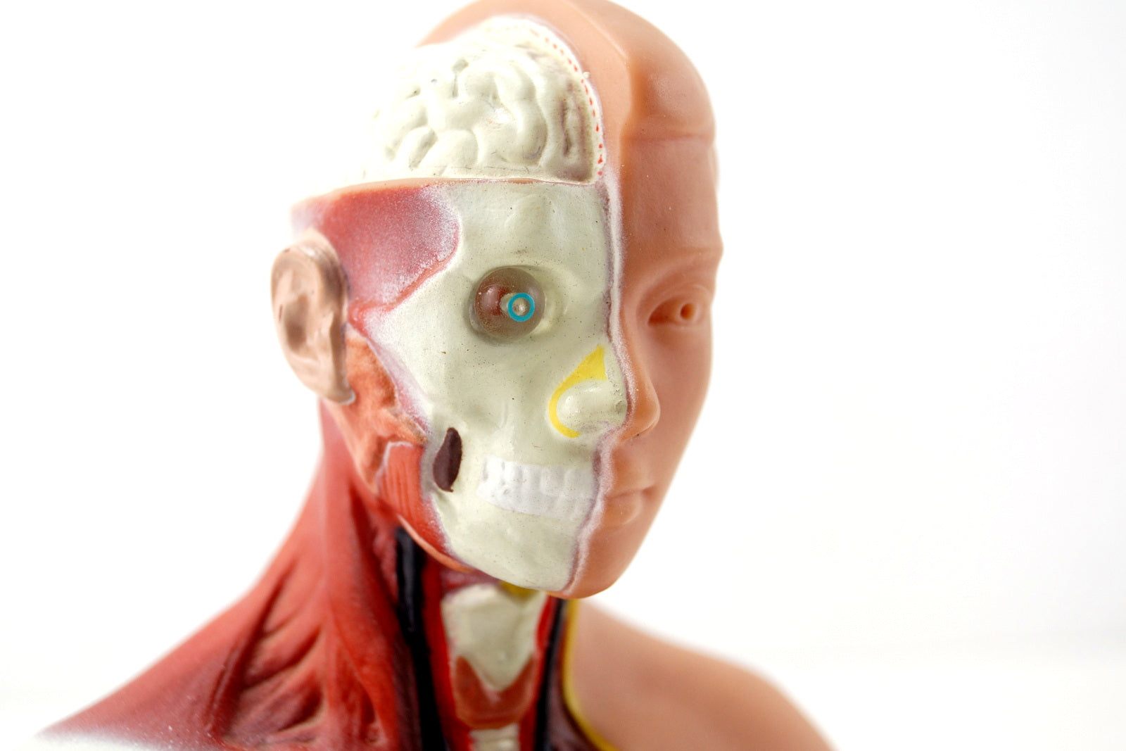 Vintage Human Anatomy Model with Removable Parts (c.1970s ...