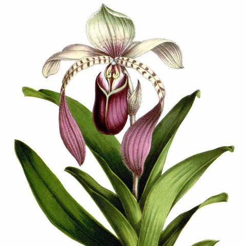 "Digital Download ""Paphiopedilum Lowii"" Illustration (c.1872) - Instant Download Printable - ThirdShiftVintage.com"