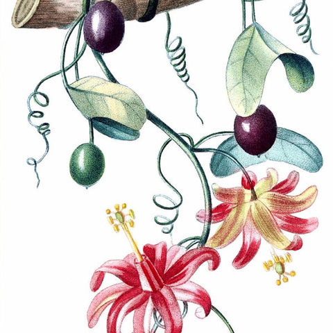 "Digital Download ""Passiflora Murucuja"" Illustration (c.1855) - Instant Download Printable - ThirdShiftVintage.com"
