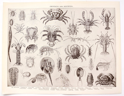 Vintage / Antique Crustacea and Arachnida Book Plate Engraving with Crab, Lobster and more (c.1900s) - ThirdShift Vintage
