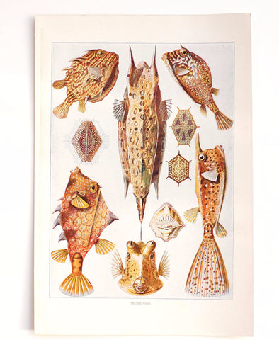 Vintage / Antique Trunk Fish Book Plate Engraving (c.1900s) - ThirdShift Vintage