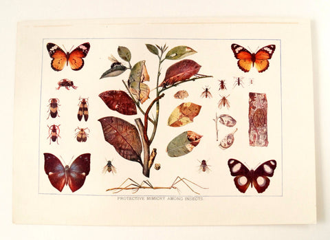 Vintage / Antique Insects Book Plate Engraving 2 (c.1900s) - Collectible, Home Decor - ThirdShift Vintage