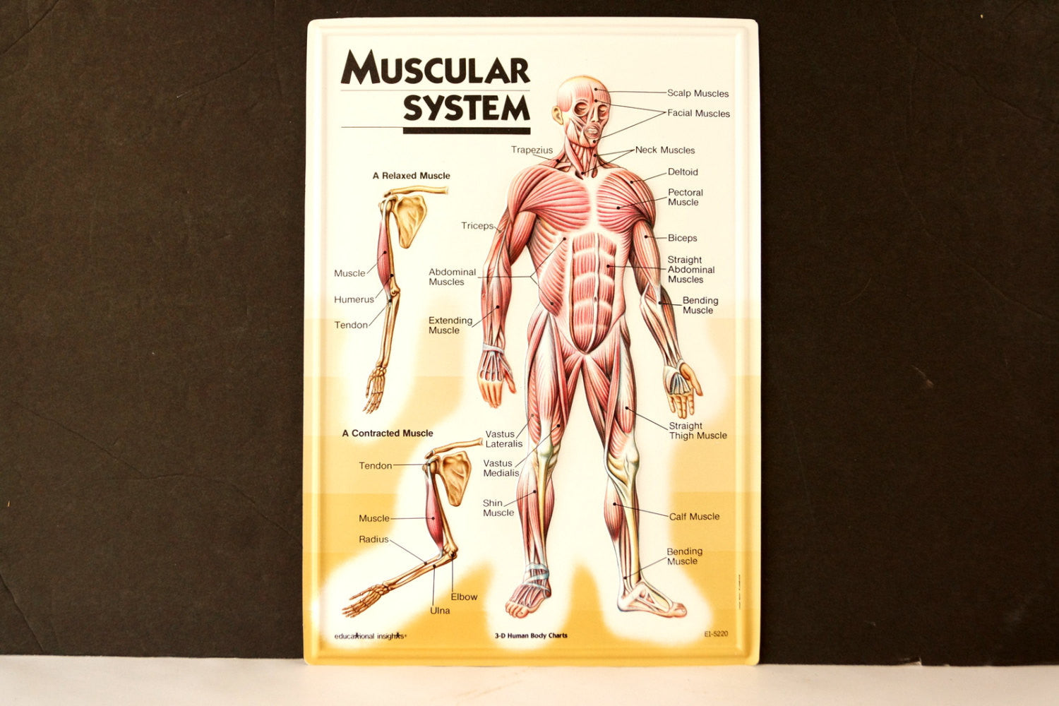 Vintage 3d Human Body Chart Muscular System Human Muscle Anatomy