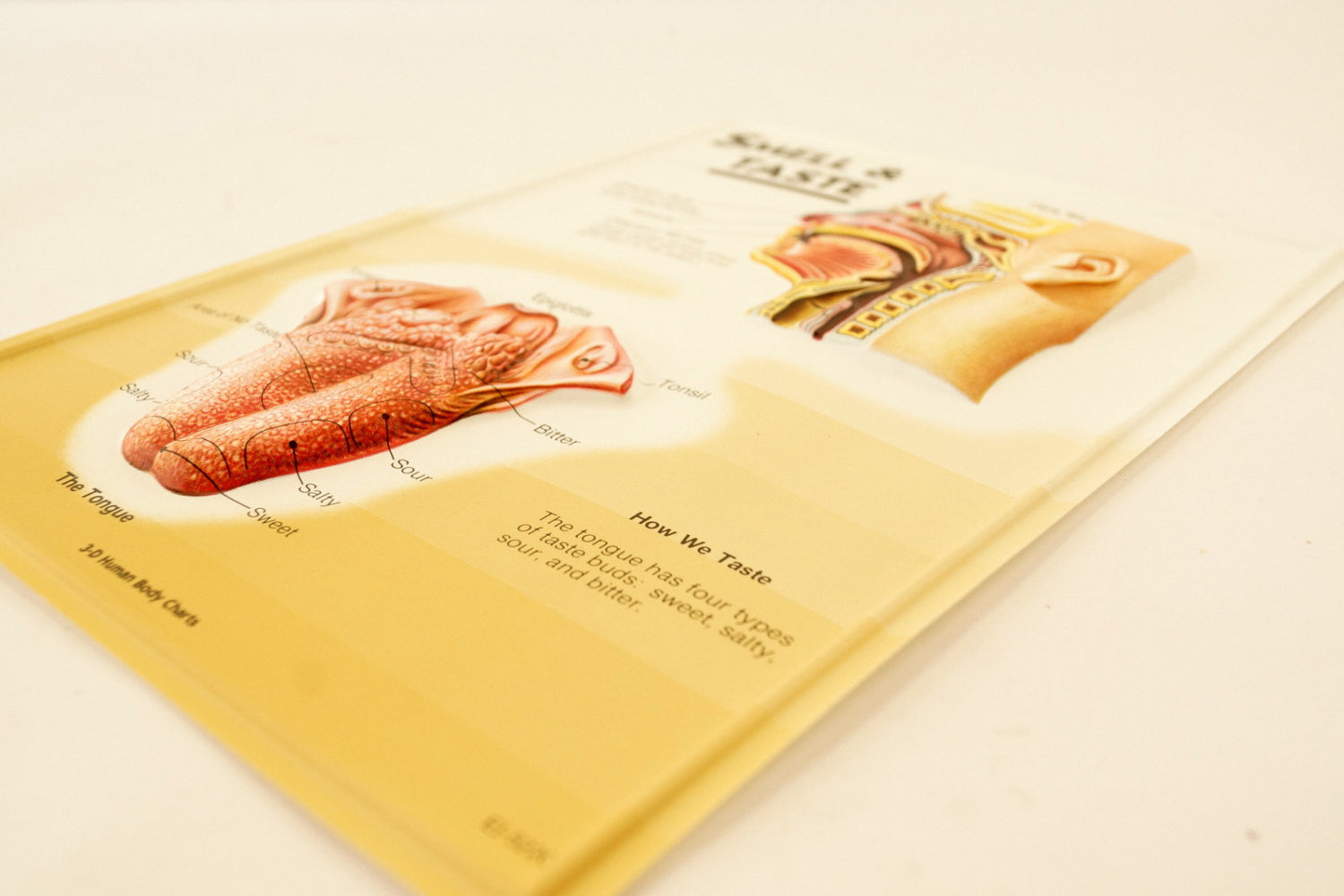 Vintage 3d Human Body Chart Smell And Taste Human Anatomy C1980s