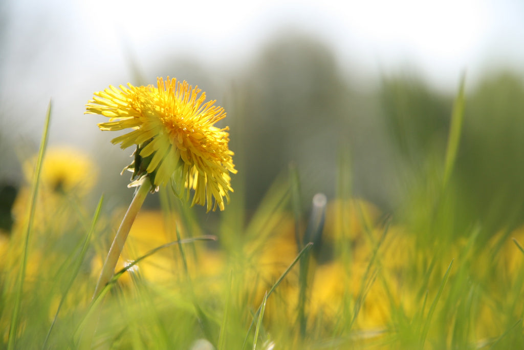 dandelion flower in grass