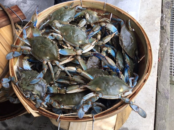Blue Crab Harvest