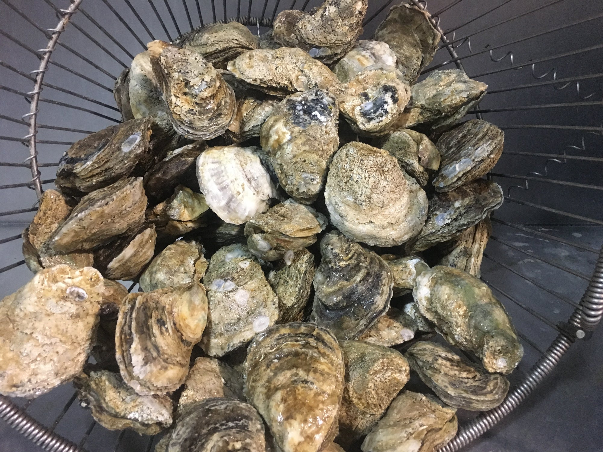 Shell Oysters