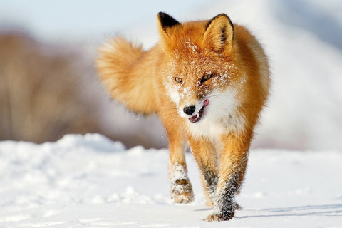 Beautiful Red Fox Does Some Snow Running – Silk Poster Artwork – 4 Sizes Available