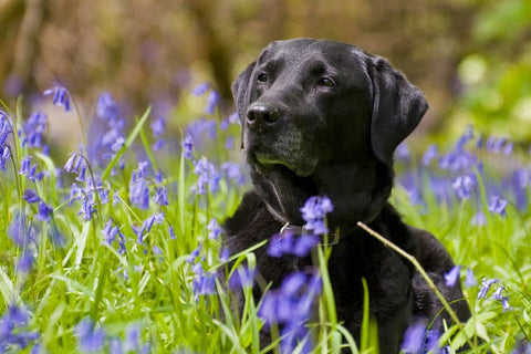 Beautiful Black Lab Enjoying Life – Silk Poster Artwork – 4 Sizes Available