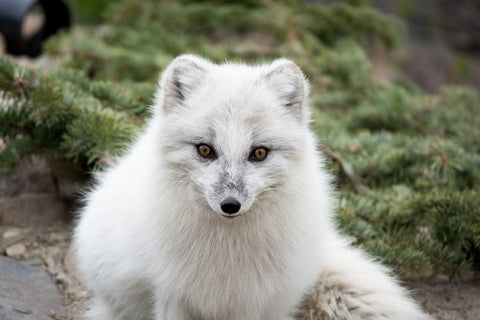 Beautiful Arctic Fox Poses For The Camera – Silk Poster Artwork – 4 Sizes Available