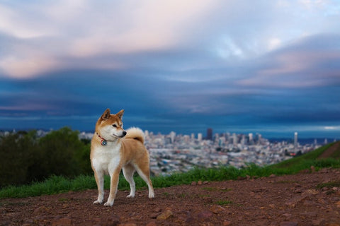 Beautiful Shiba Inu In Search Of His Mate – Silk Poster Artwork – 4 Sizes Available
