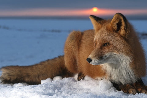 Beautiful Red Fox At Sunset – Silk Poster Artwork – 4 Sizes Available