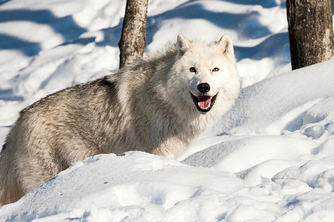 Beautiful Wild Snow Wolf – Silk Poster Artwork – 4 Sizes Available