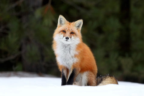 Beautiful Red Fox Asks – Where's My Peeps – Silk Poster Artwork – 4 Sizes Available