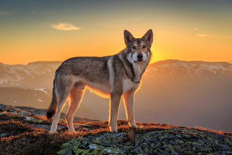 Beautiful Dog-Wolf At Sunset – Silk Poster Artwork – 4 Sizes Available