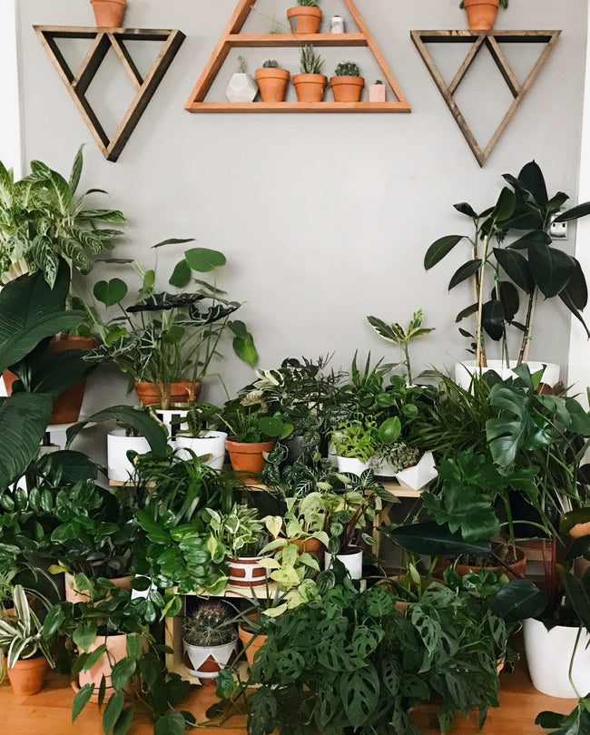 Gian plant collection with triangle shelfs