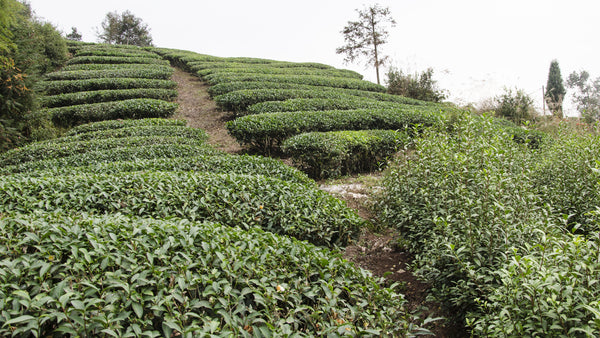 Tea fields in the Wuyi Mountains