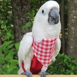 Avian Fashions Bandana - Red and White-PARROTBOX PET SUPPLIES