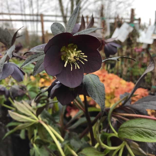 Helleborus Honeymoon® 'New York Night'