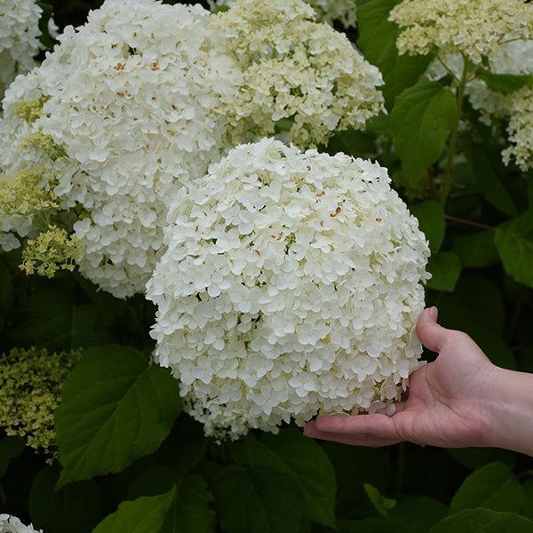 Incrediball® Smooth Hydrangea