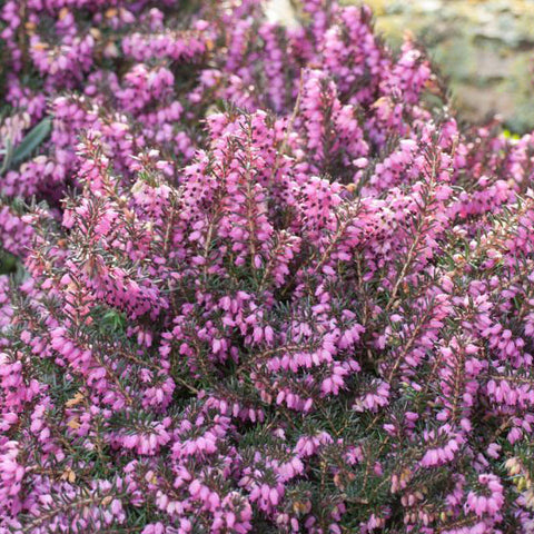Heather 'Mediterranean Pink'