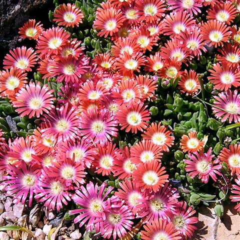 Red Mountain Ice Plant