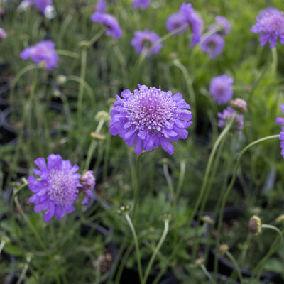 Butterfly Blue Pincushion Flower (Scabiosa)