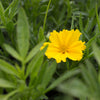 Coreopsis Li'l Bang Goldilocks