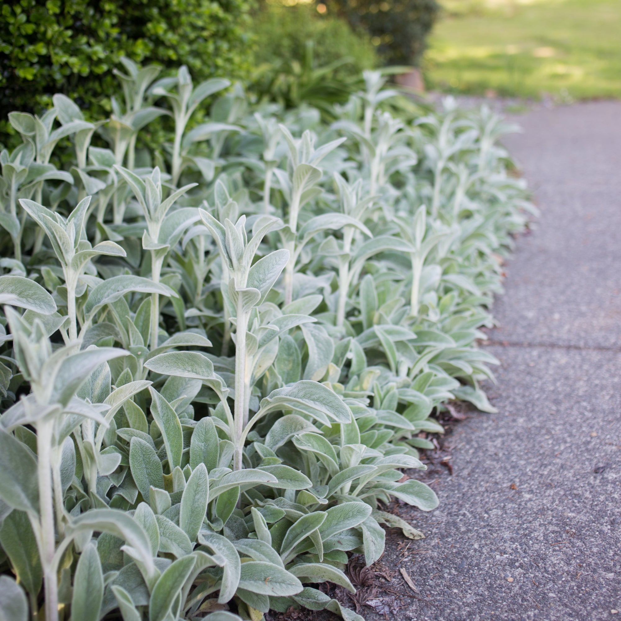 Silver Carpet Lamb's Ear
