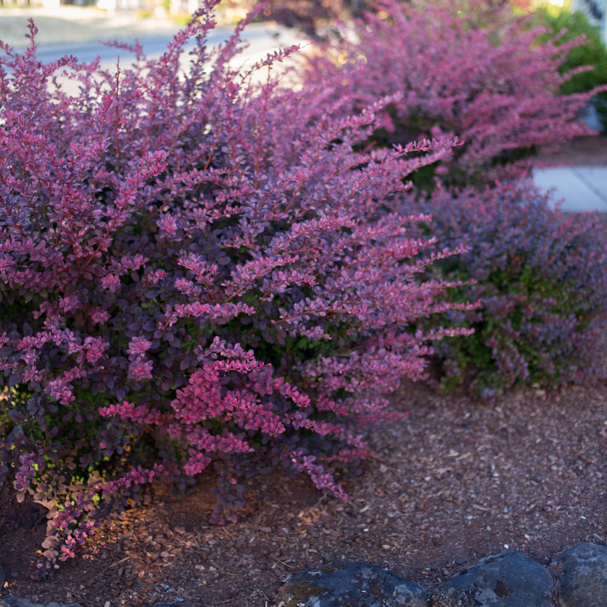 Barberry 'Rosy Glow'