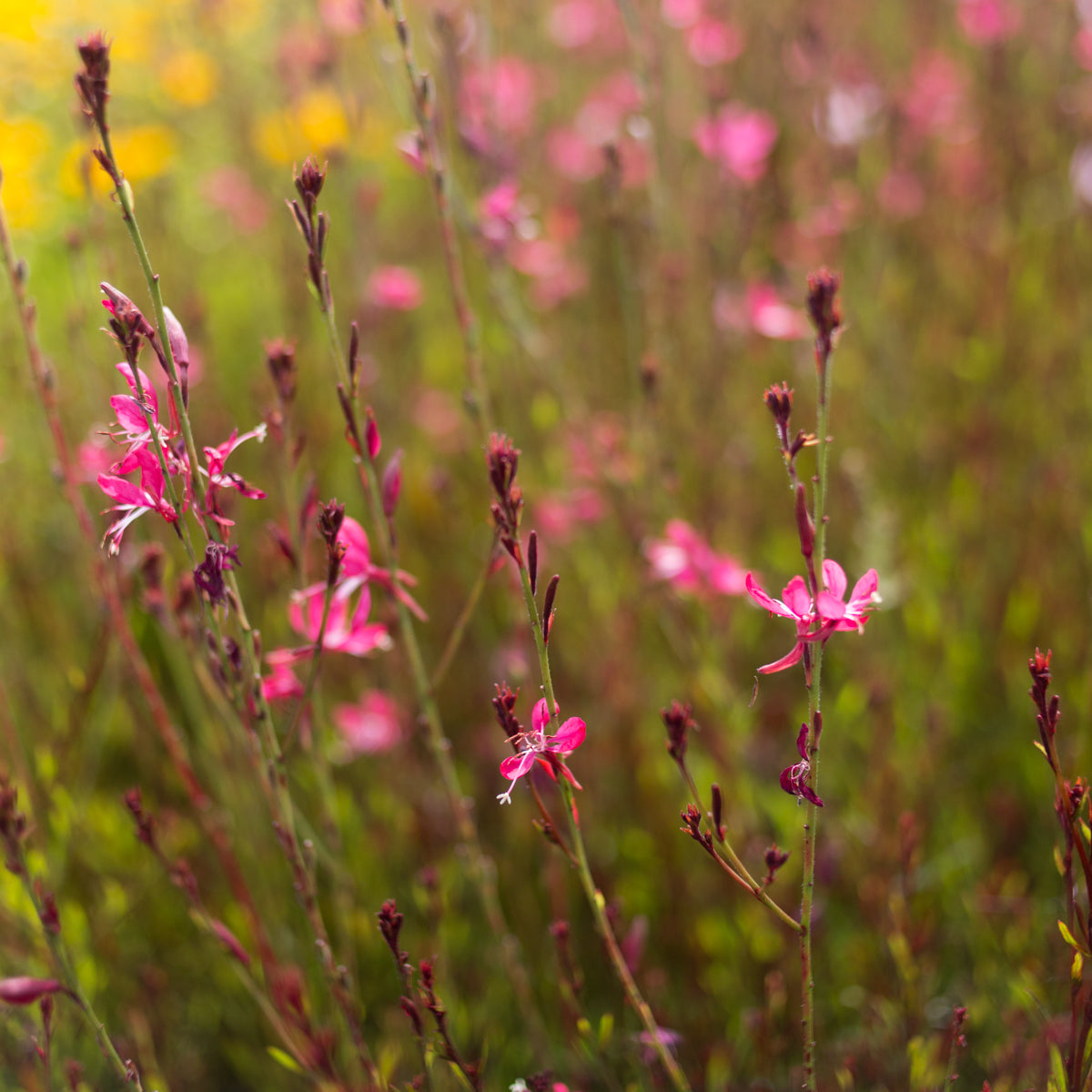 Whiskers Deep Rose Gaura