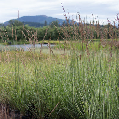 Feather Reed Overdam