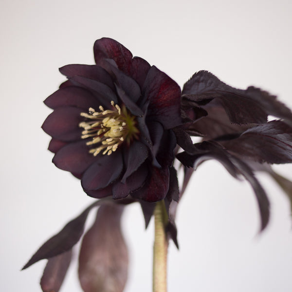 Helleborus Wedding Party™ 'Dark and Handsome'