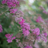 Spirea 'Anthony Waterer'