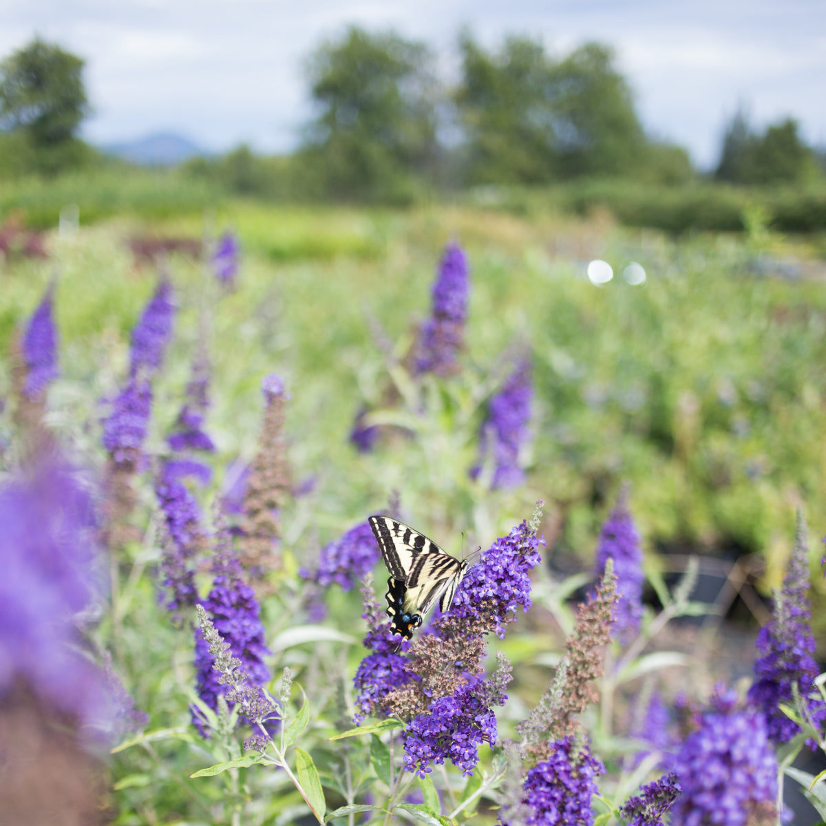 Butterfly Bush Buzz Magenta For Sale Online The Greenhouse