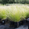 Mexican Feather Grass