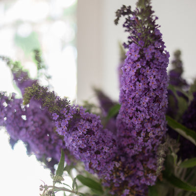 Butterfly Bush 'Buzz™ Sky Blue'