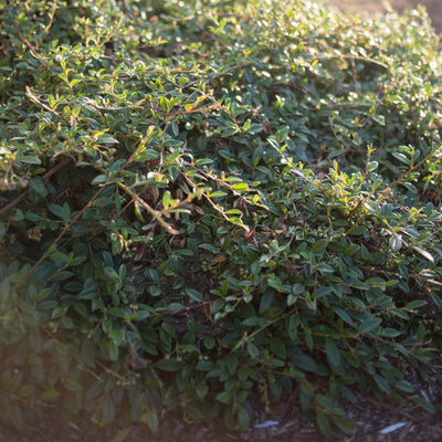 Cotoneaster 'Willow Leaf'