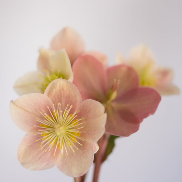 Helleborus Gold Collection® Cinnamon Snow