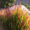 Japanese Blood Grass 'Red Baron'