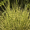 Gold Bar Maiden Grass
