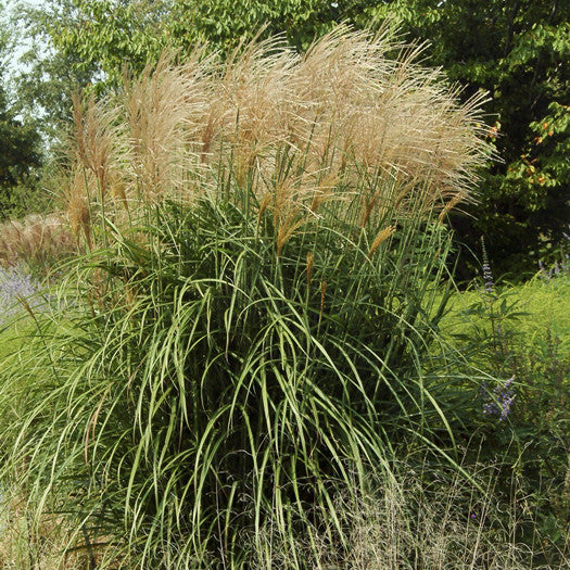 Japanese silver grass malepartus for sale online greener for Fast growing ornamental grass